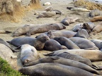 Elephant seals snuggled up for warmth