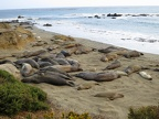 Elephant seals rookey at Piedras Blancas
