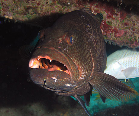 Tiger Grouper (Mycteroperca tigris)