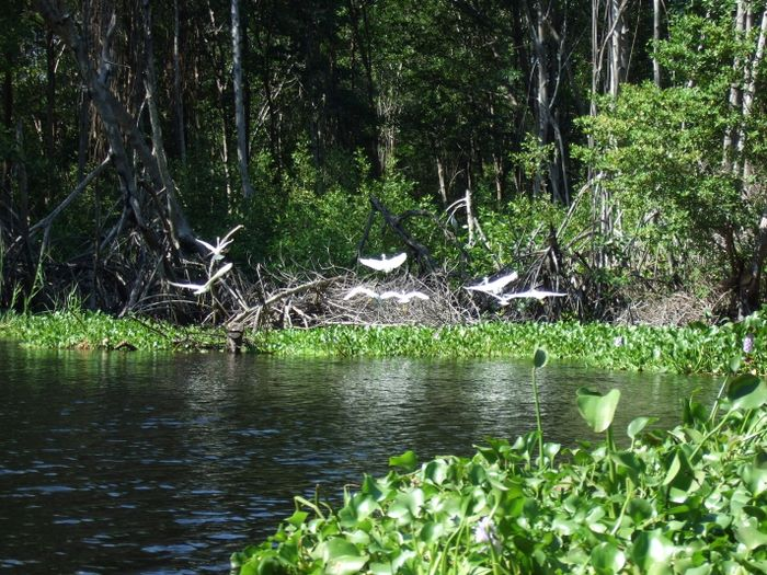 Egrets in the mangrove