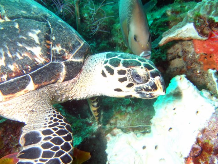 A Hawksbill turtle feeding on a sponge