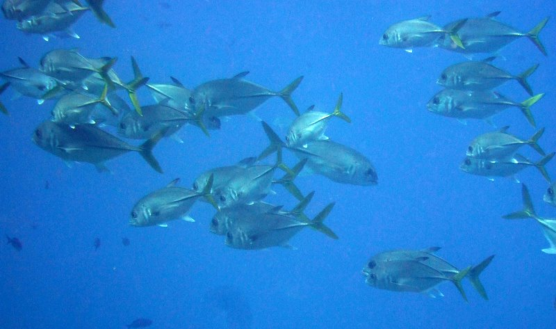 Horse-eye jacks schooling at dive site Peli 0