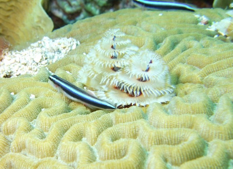Christmas Tree worms and a goby
