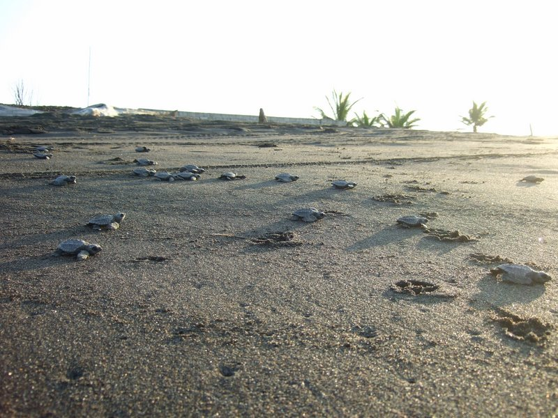 March of the turtle hatchlings