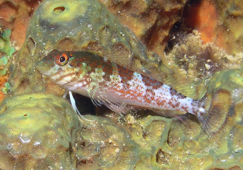 Saddled blenny (Malacoctenus triangulatus)