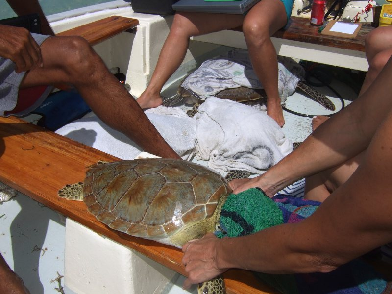 The wet towel over the head helps keep the turtle calm while it is being measured and tagged