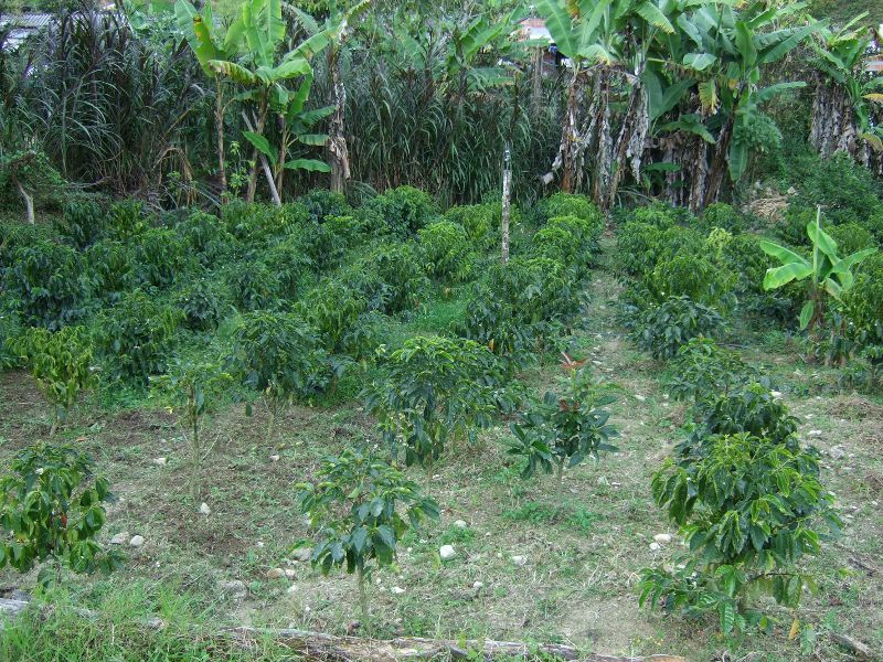 Coffee plants on Don Oscar's finca in Gomez Plata