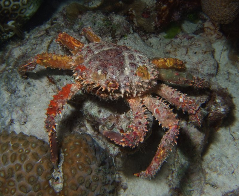 Channel clinging crab (Mithrax spinosissimus); Family: Spider Crabs - Majidae