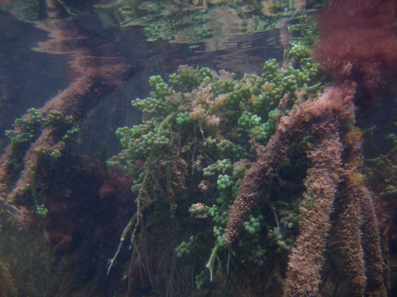 Mangrove roots with green grape algae (Caulerpa racemosa) growing on them