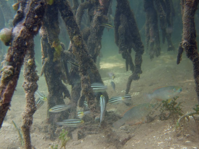 Juvenile parrotfish sheltering in the mangrove roots