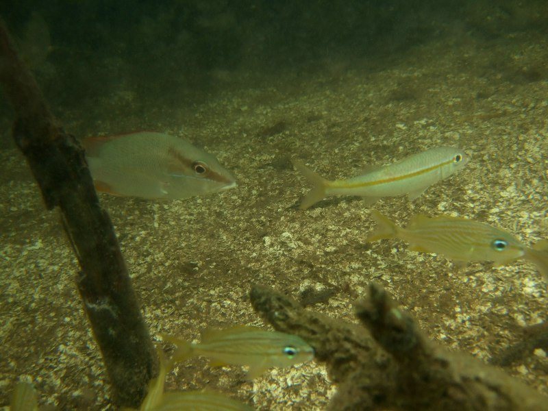 Left of centre is most likely a schoolmaster snapper juvenile, often found in mangroves