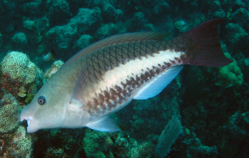 Queen parrotfish (Scarus vetula), initial phase