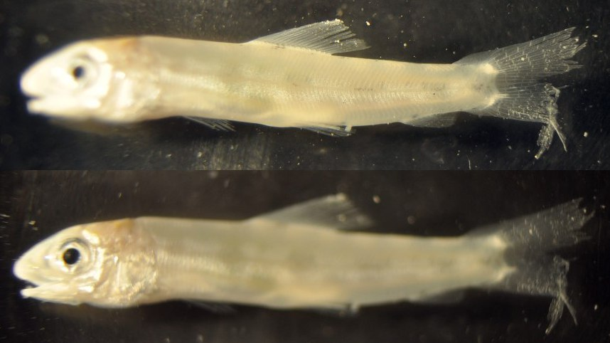 Scaled blenny (Malacoctenus sp.), body and head focused photos