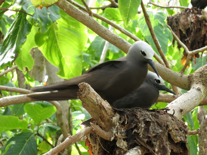 Lesser noddies (Anous tenuirostris).  There are over 80,000 breeding pairs on the island