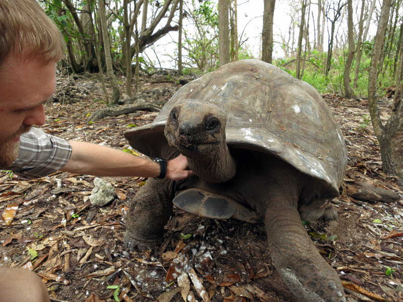 The Aldabra giant tortoise was close to extinction with the only population found on the remote Aldabra atoll.