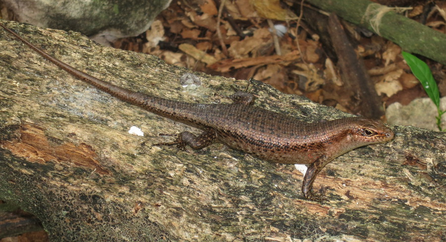 Wright's skink (Trachylepis wrightii), also endemic