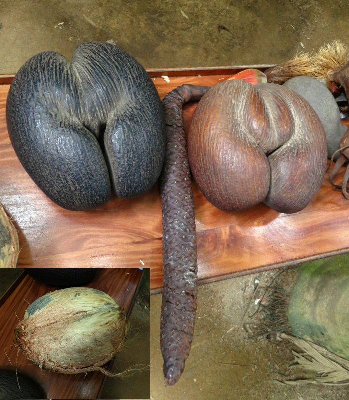 The erotically shaped seed from the female coco de mer palm, with the male catkin inbetween