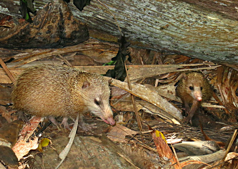 Tenrecs (Tenrec ecaudatus) foraging on the forest floor