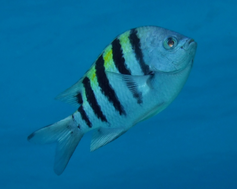 Sergeant major (Abudefduf saxatilis) in Bonaire