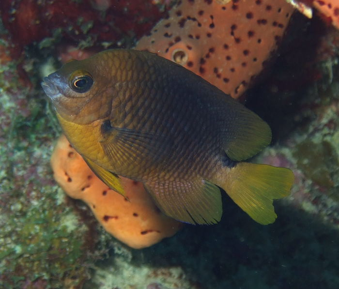 Threespot damselfish (Stegastes planifrons) in Bonaire