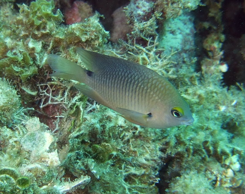 Threespot damselfish (Stegastes planifrons) in Bonaire (alternative colouration)