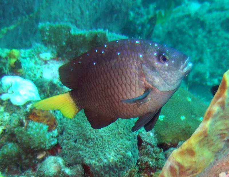 Yellowtail damselfish (Microspathodon chrysurus) in Tobago