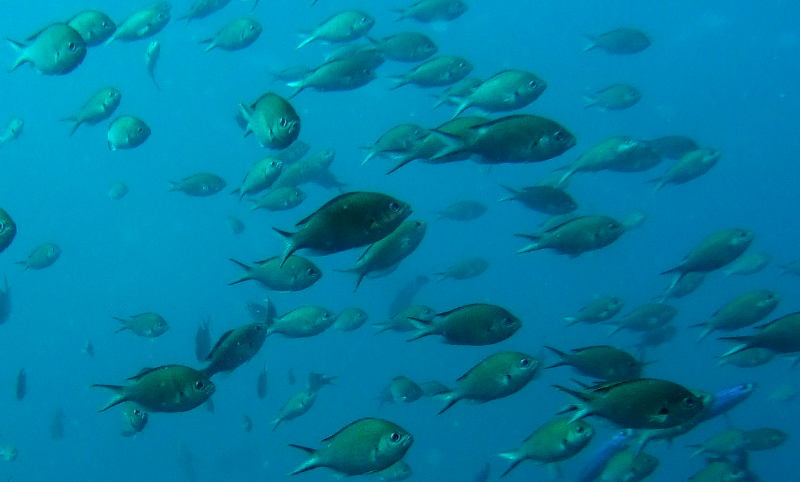 Brown chromis (Chromis multilineata) in Tobago