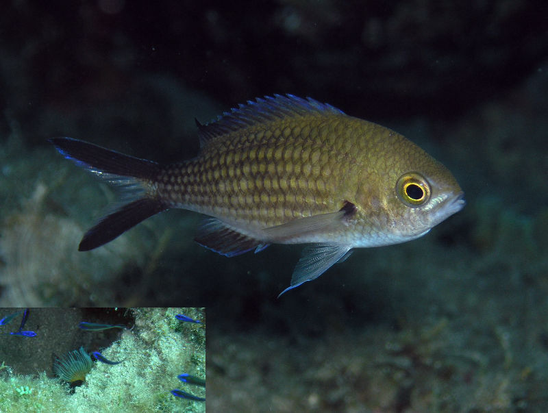 Damselfish (Chromis chromis). Inset photo - juveniles, just a centimetre or so long