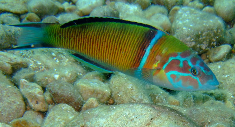 Ornate wrasse (Thalassoma pavo), male