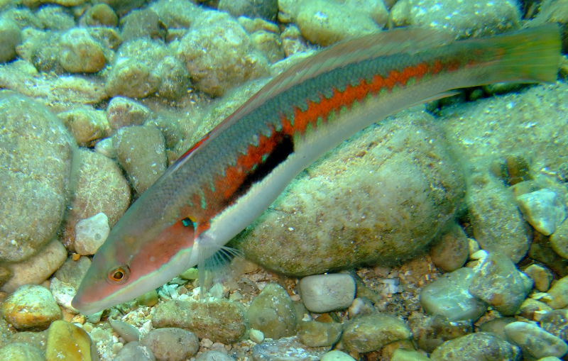 Rainbow wrasse (Coris julis)