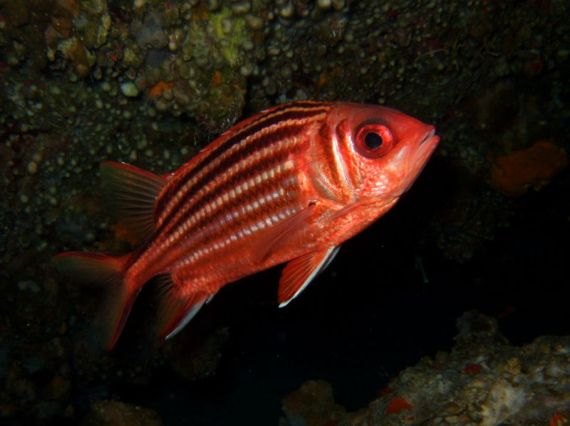 Red soldierfish or red squirrelfish (Sargocentron rubrum)
