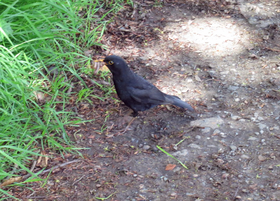Black bird with a beak full of worms!