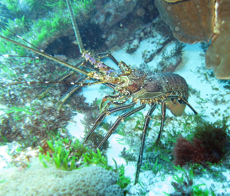 Possibly a pronghorn spiny lobster (Panulirus penicillatus)