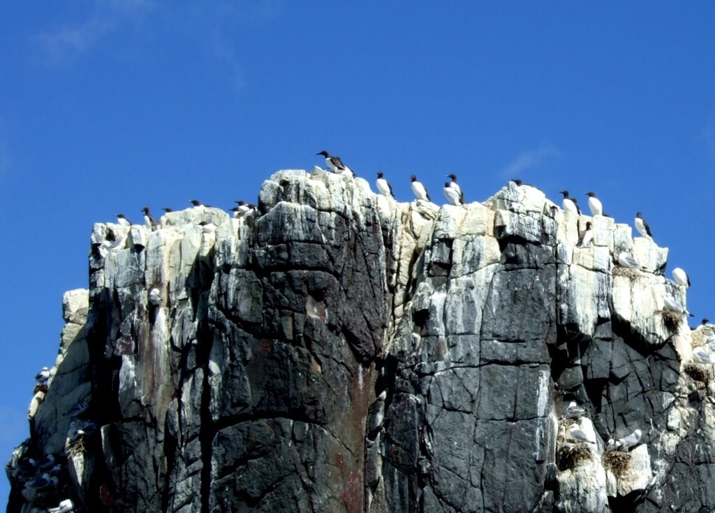 Guillemots (Uria aalge) on the cliffs