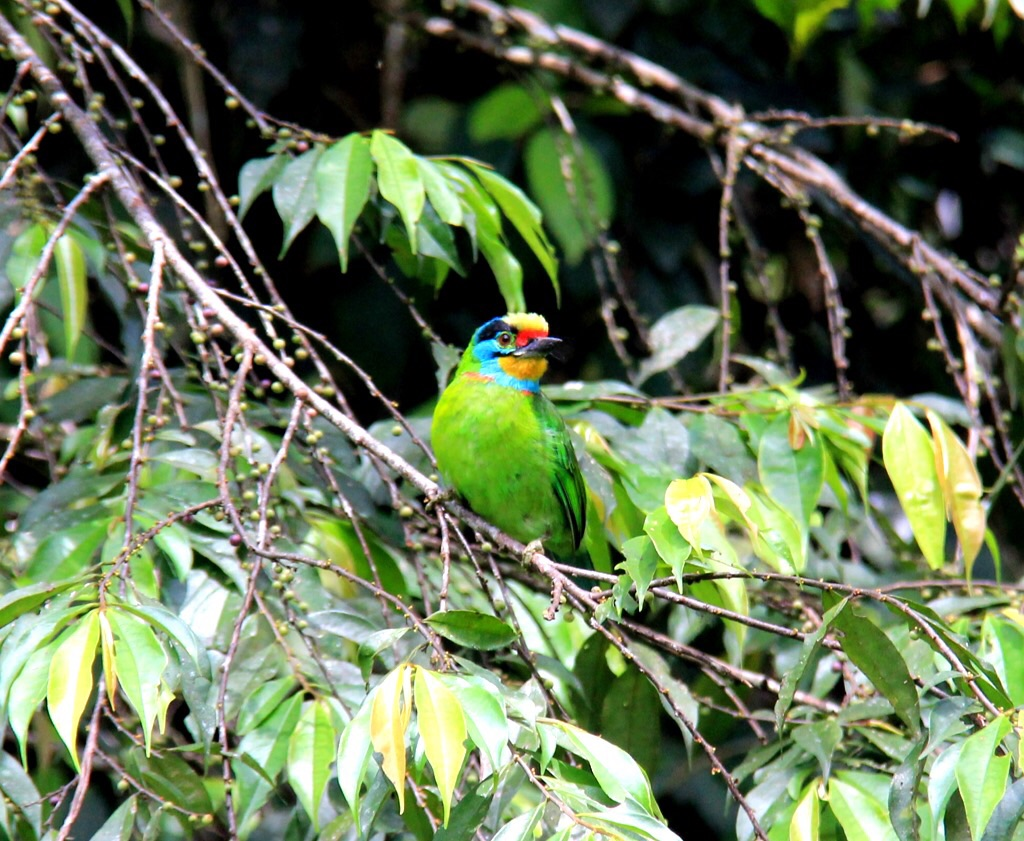Black-browed Barbet (Psilopogon oorti)