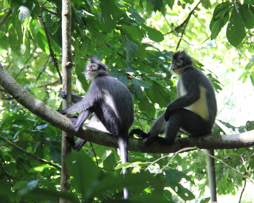 Thomas leaf monkeys (Presbytis thomasi)