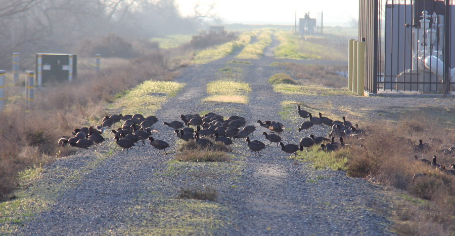 Coots crossing