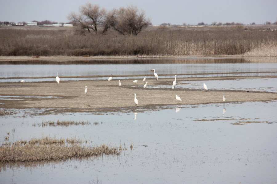 Egrets at the Kern National Wildlife Refuge