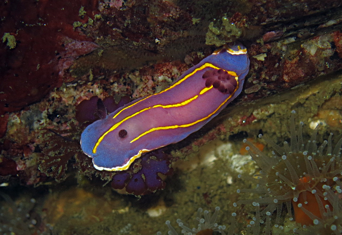 A lovely nudibranch