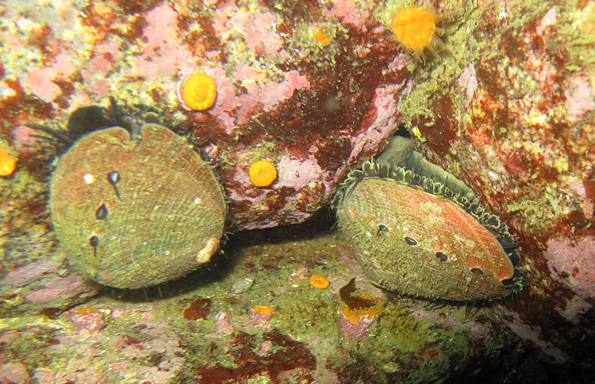 Abalone on coralline algae encrusted rocks